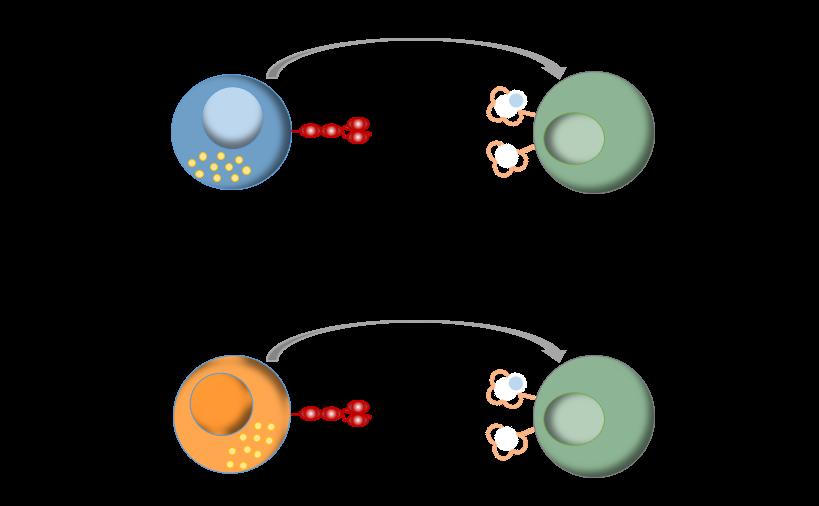 HLA-G - CAR-T Cells