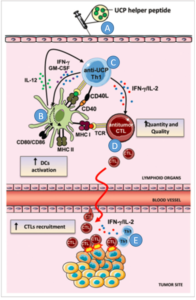 UCPVax Mechanism of Action